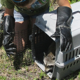 raccoon release